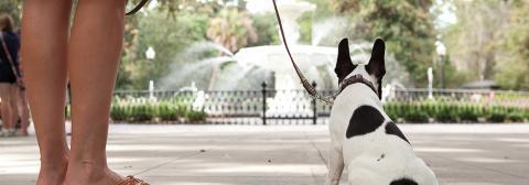 vacationing in dog friendly savannah lucky savannahdog at forsyth park fountain