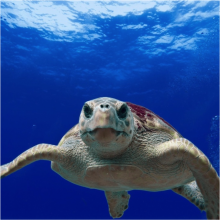 sea turtles on Tybee Island